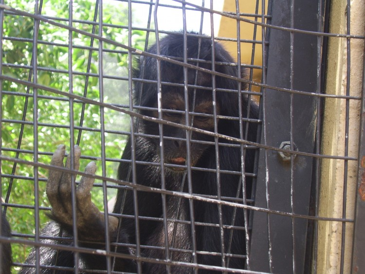 monkey_in_cage